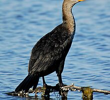 Double-Crested Cormorant by Larry Powell
