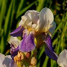 Wild Iris by WildThingPhotos