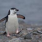 Chinstrap Penguin by David Burren