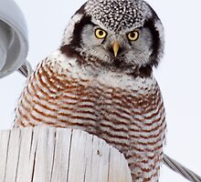 Northern Hawk Owl by lloydsjourney