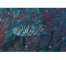 Genicanthid Photographic Print