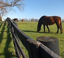 Thoroughbreds in Kentucky pasture by Dave Chafin Photography