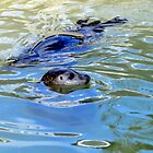 Seal at Gweek Cornwall 2015-03-26 by lynn carter
