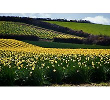 A Host of Golden Daffodils.... Photographic Print