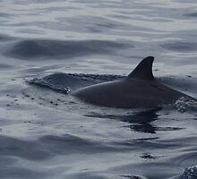 Common Dolphin by Whoot