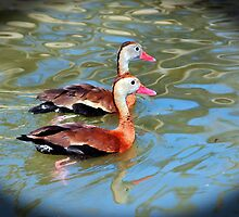 Red Billed Whistling Duck by Cynthia48