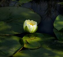 Water Lily by Stan Wojtaszek