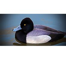 Greater Scaup  Photographic Print