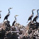 Sentries on guard - Pied Cormorants by Ian Berry