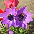 A Pair of Purple Pink Anemones with Honey Bees by taiche