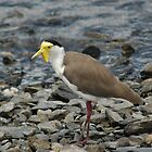 Masked lapwing or plover by Trevor Needham