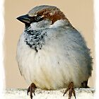 Sparrow - Moineau by kilmann