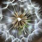 Dandelion by Centralian Images