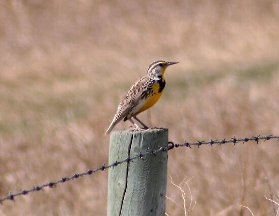 Eastern Meadowlark by Larry Trupp