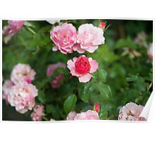 Light and Dark Pink Roses Poster