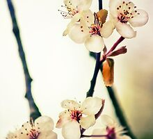 White Blossoms by Vicki Field