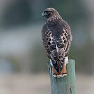 Red Tailed Hawk Scanning for Prey by David Friederich