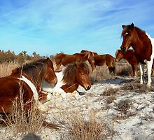 WILD PONIES OF ASSATEAGUE ISLAND by Sandra Fazenbaker