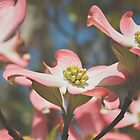 Pink Dogwood Blossoms by Bethany Helzer