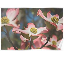 Pink Dogwood Blossoms Poster