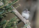Fluffy Female Junco by Lynda  McDonald