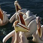 Hungry pelicans by ShotByArlo