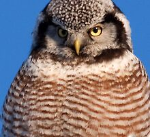 Northern Hawk Owl 6 by lloydsjourney