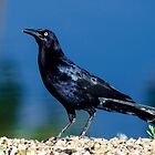 Great-Tailed Grackle by George I. Davidson