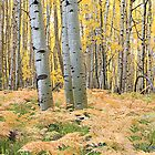 Aspen Boles and Ferns by Robert Yone