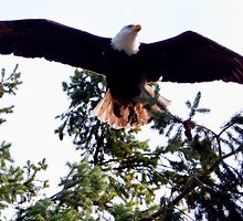 Skagit Valley Eagle 4 by David Chappell