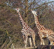 Giraffes at Woodland Zoo by Tamara Valjean