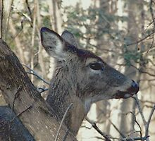 Doe eye by Judi Taylor