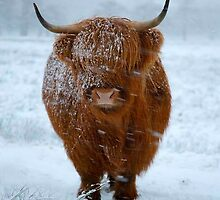 Highland Cattle by samandoliver
