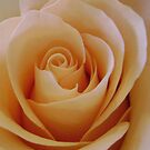 Peach Rose by DesignsByDeb