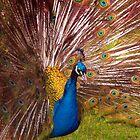 Peacock Pride by Tamara Valjean