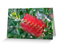 Bottle Brush Tree Blossom Greeting Card