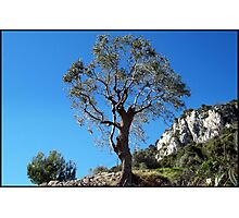 Young olive tree Photographic Print