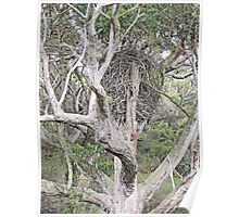 White-Bellied Sea-Eagle nest Poster