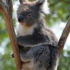 Koala - Ballarat Wildlife Park2 by forgantly