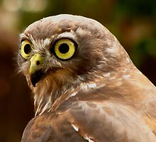 """Abby"", Barking Owl, Raptor Domain. by Mel1973"