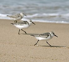 Cape Cod Sanderlings  by Christopher Seufert