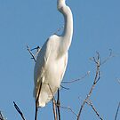 Great Egret, Moremi Game Reserve, Botswana, Africa by Adrian Paul
