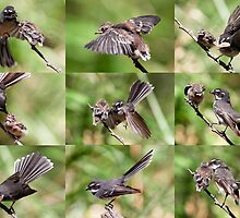Grey Fantail ~ The Joys of Parenthood by Robert Elliott