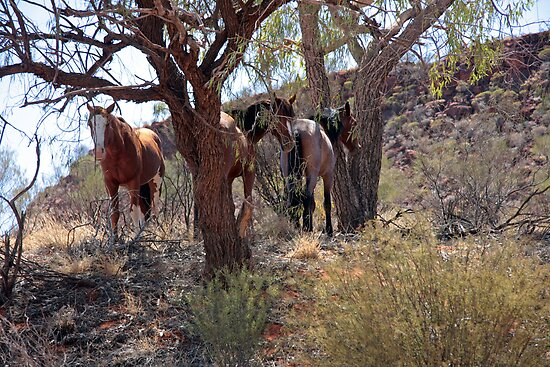 Wild Brumbies  by Centralian Images