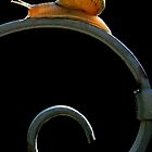 Snail on fence by jimmy hoffman
