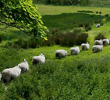 Line of Sheep by Adam McAteer