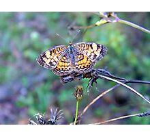 Pearl Crescent Photographic Print