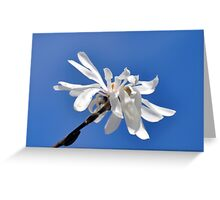 Solo White Magnolia flower.......... Greeting Card