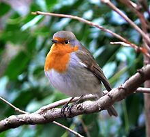 Robin Red by robbieg15