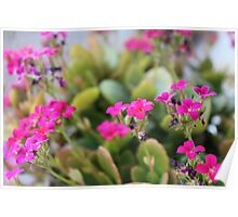 Pink Kalanchoe Flowers Poster